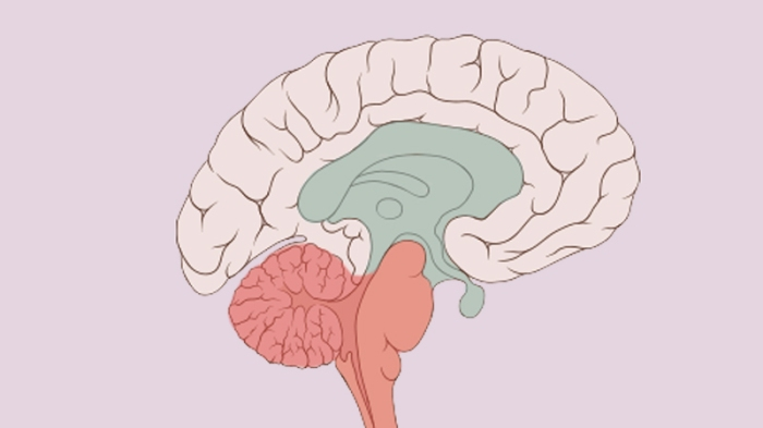 The old primitive brain is shown in blue and red: the limbic system, brain stem and cerebellum.